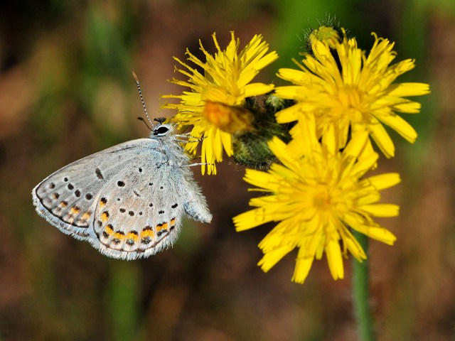 Karner blue butterfly pollinating a dandelion flower (USFWS midwest creative commons license).